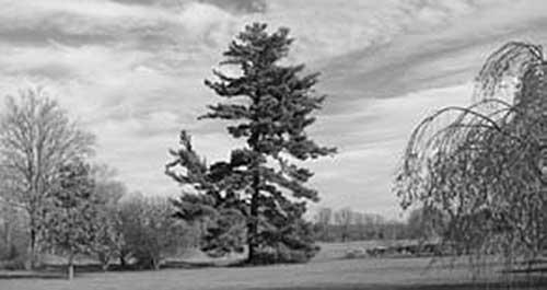"""Swamiji's Pine"" at Ridgely"