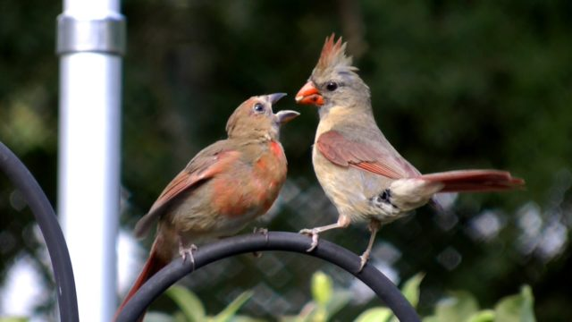 A cardinal and her fledgling